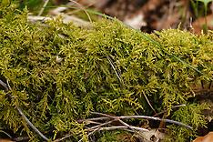 Fijn laddermos, Kindbergia praelonga