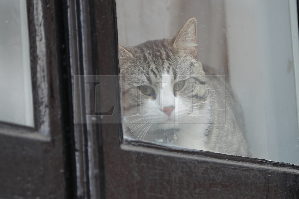 © Licensed to London News Pictures. 19/05/2017. London, UK.  Wikileaks founder Julian Assange's cat look at the window of Ecuadorian embassy in London where has been living since 2012. Today the Swedish authorities have announced that they are dropping their investigation into rape allegations against him. Photo credit: Tolga Akmen/LNP