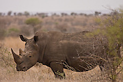 White Rhinocerous, South Africa