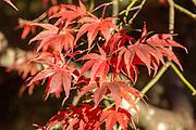 Japanese maple tree in autumn colour, Acer Palmatum, National arboretum, Westonbirt arboretum, Gloucestershire, England, UK 'Matsumurae'