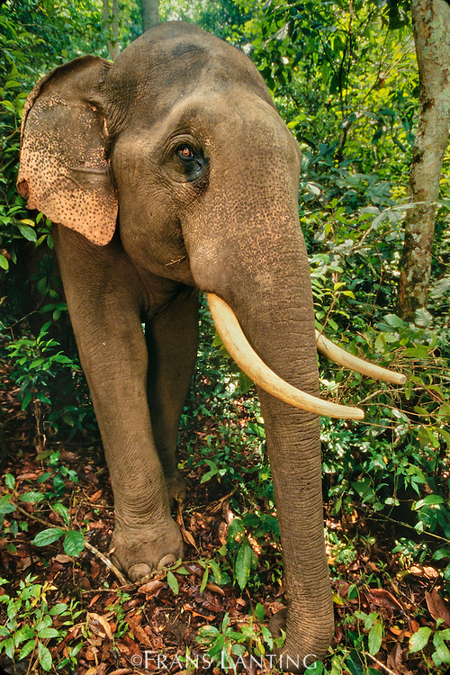 Domestic asiatic elephant in forest, Elephas maximus, Nagarahole National Park, Western Ghats, India