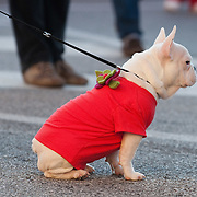 NOALE, ITALY - DECEMBER 18: A dog dressed with a red shirt waits to take part in the Noale Santa Run on December 18, 2011 in Noale, Italy. Close to two thousand people participated in the third annual Noale Santa Run, one of the largest non competitive Santa Run in Italy.