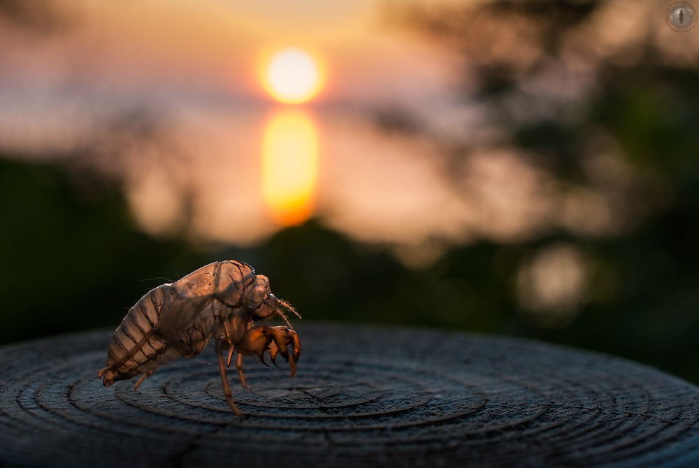 An empty cicada shell photographed against a setting sun in the Shiretoko peninsula, Japan.