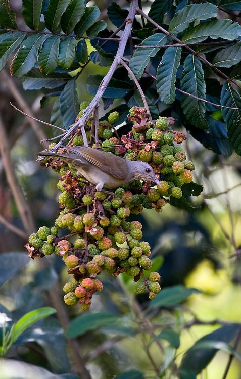 Itabirito _ MG, Brasil..Detalhe de um Sabia peito-roxo se alimentando de fruta no galho de uma arvore...Detail of Sabia peito-roxo eating fruit  in branch tree...Foto: JOAO MARCOS ROSA / NITRO