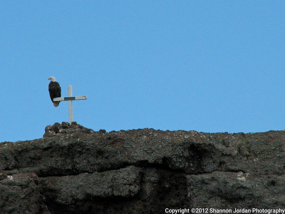 A bald eagle sits perched on a cross on the west end of Santa Cruz Island in the Channel Islands National Marine Sanctuary. The central coast of California is one of the most scenic areas of the United States. The natural beauty and wildlife are abundant and breathtaking. You can find more than 200 species of birds, both land and sea birds, on this scenic and spectacular stretch of California..The National Audubon Society lists Morro Bay and the central coast of California, including Santa barbara as a Globally Important Bird Area. Thousands of migratory birds spend part of the year here..Shorebirds such as marbled godwits, willets, curlews with their long curved bills and tiny sandpipers find a bountiful feast in the mudflats of the estuary at Morro Bay. Black brant geese migrate from spots on the Alaskan shore to feed on the rich eelgrass beds. Fluttering terns, brown pelicans, graceful egrets and herons are also part of the seasonal mix...