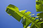 Detail of palm leaves in the village of Mele-Maat, Vanuatu.