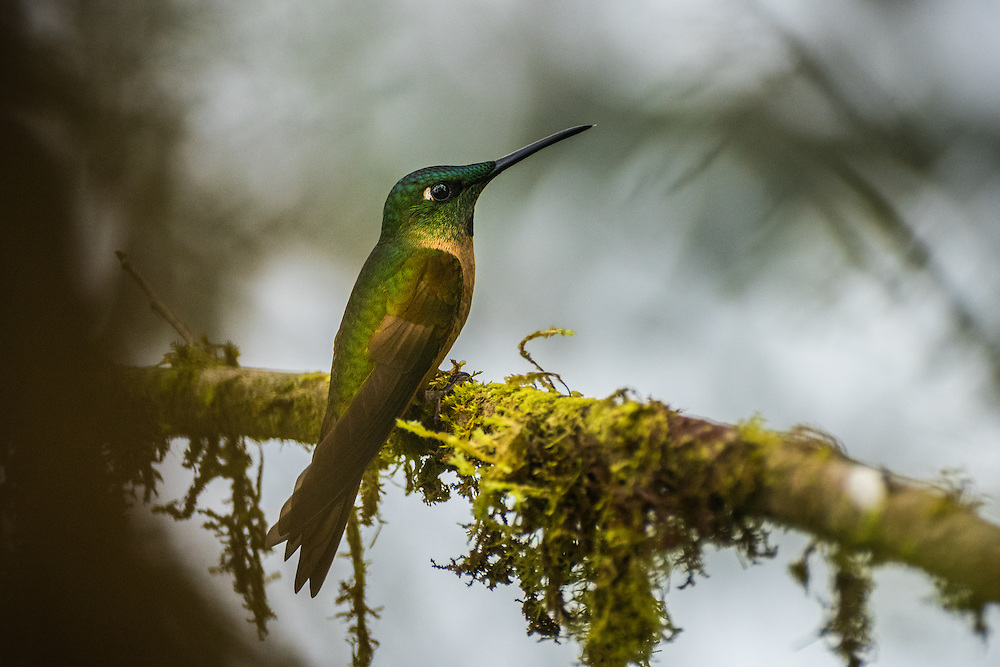 A female Fawn-Breasted Brilliant sits on a branch covered with moss, Santa Lucia Cloud Forest, Ecuador.