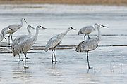 Sandhill Cranes prepare to take off from a frozen marsh to fly to the daily the feeding ground after spending the night at the Bosque del Apache National Wildlife Refuge in San Antonio, New Mexico. The cranes freeze in place as night temperatures drop and then free themselves when the sun warms the water.