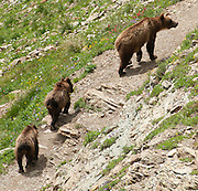 A grizzly bear (Ursus arctos horribilis, a subspecies of brown bear) sow and cubs walk along the Grinnell Glacier Trail, Glacier National Park, Montana, USA. The species Ursus arctos is found across northern Eurasia (including Russia and Scandinavia) and North America and is an omnivorous mammal of the order Carnivora.