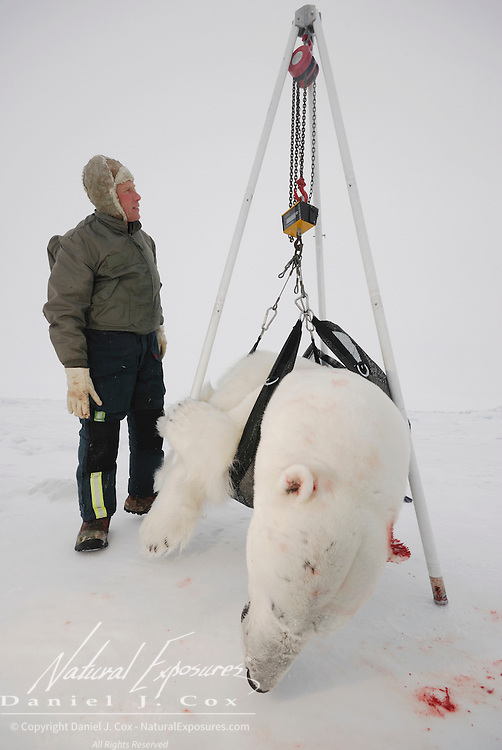 Dr. Steve Amstrup, USGS biologist weighing a large, male polar bear weighing 944 lbs.  on the Beaufort Sea ice pack.