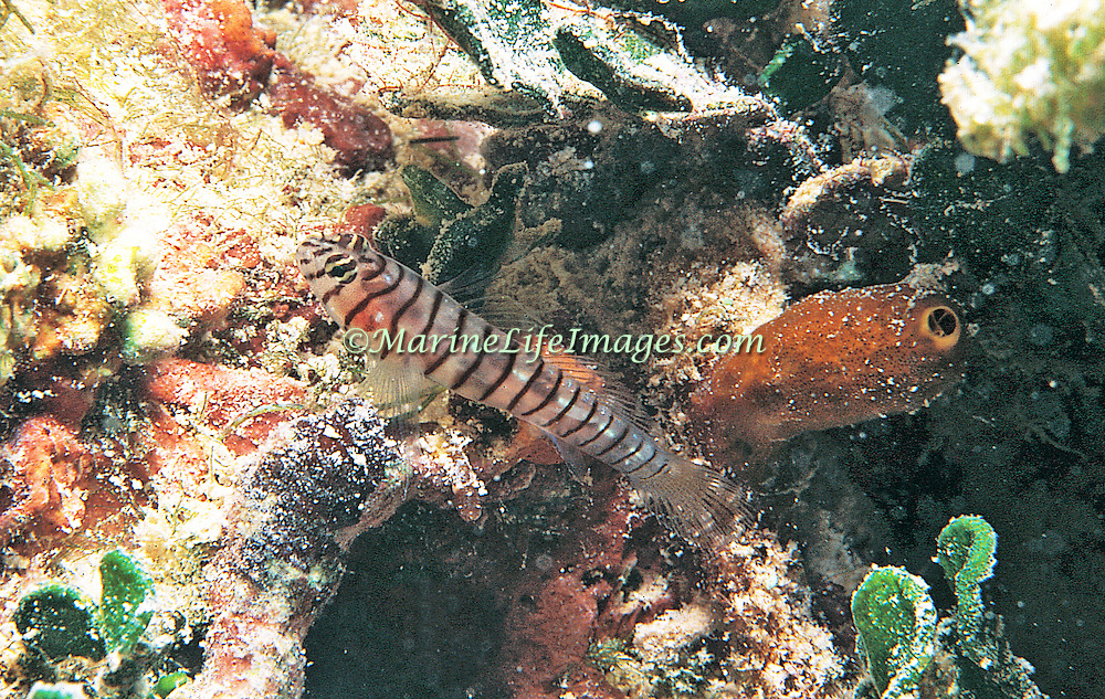 Tiger Goby inhabit shallow water hard bottoms with algae and isolated coral heads, often hide under algae in South Florida, Gulf of Mexico and Bermuda; picture taken Key Largo, FL.