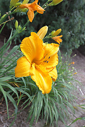 yellow colored lily (Lilium) bloom
