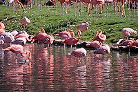 Chateau de Sauvage, France. Pink flamingos beautifully reflected in the waters of the lake.
