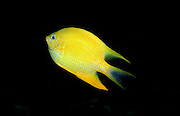 UNDERWATER MARINE LIFE WEST PACIFIC, generic FISH: Yellow Damselfish Amblyglyphidodon aureus
