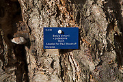 Tree species identification label, National arboretum, Westonbirt arboretum, Gloucestershire, England, UK - Betula ermanii x pubescens, birch tree