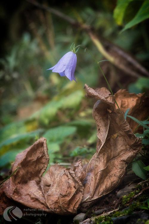 Purple Bells; wildflower; Waterton National Park; Waterton Provincial park