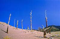 Migrating dunes passed over these ponderosa pine.  Great Sand Dunes National Monument.  Colorado, USA.