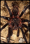 Tarantula in Amazon rain forest.  Brazil