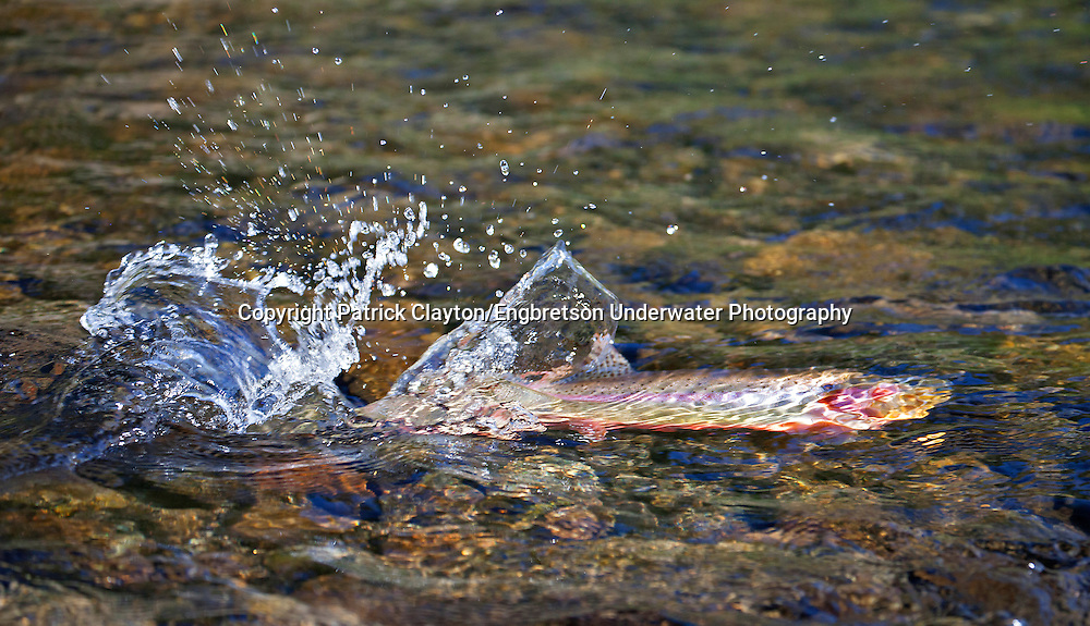 Golden Trout digging red<br />