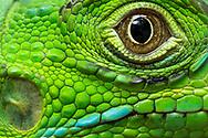 Close-up of a Green Iguana ( Iguana iguana ), the Belize Iguana Project.