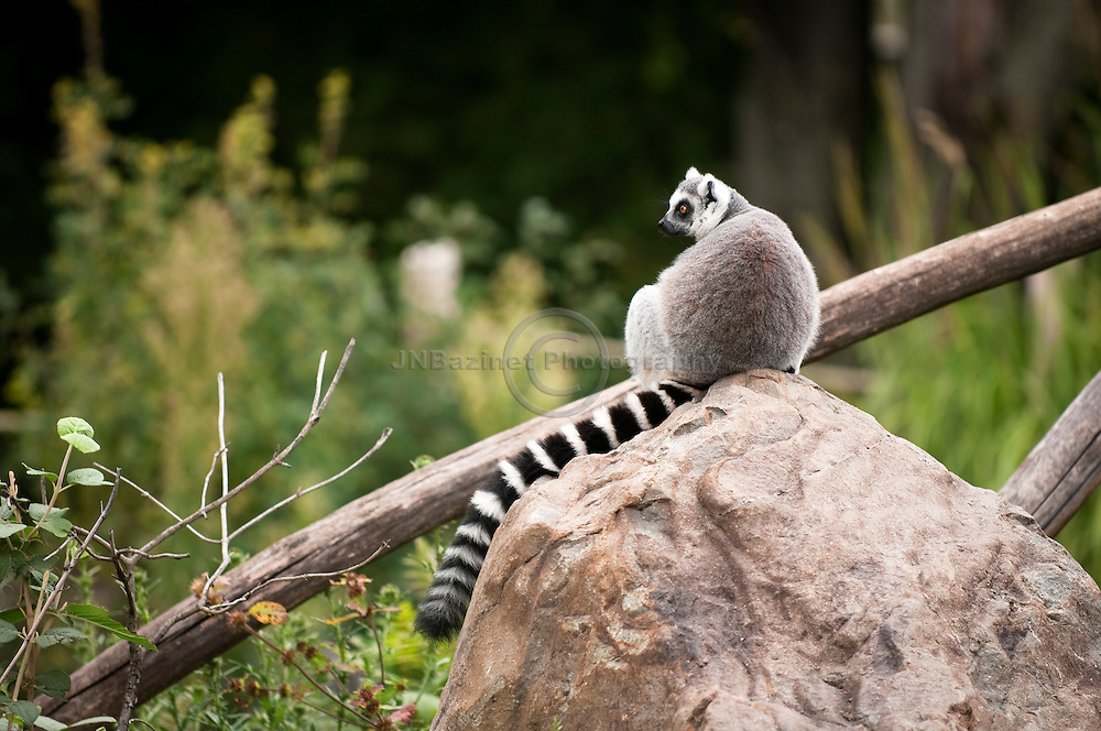 Lemurs are a form of primates endemic to the island of Madagascar