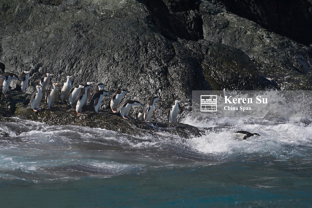 Chinstrap Penguins (Pygoscelis antarcticus) on Elephant Island, Antarctica