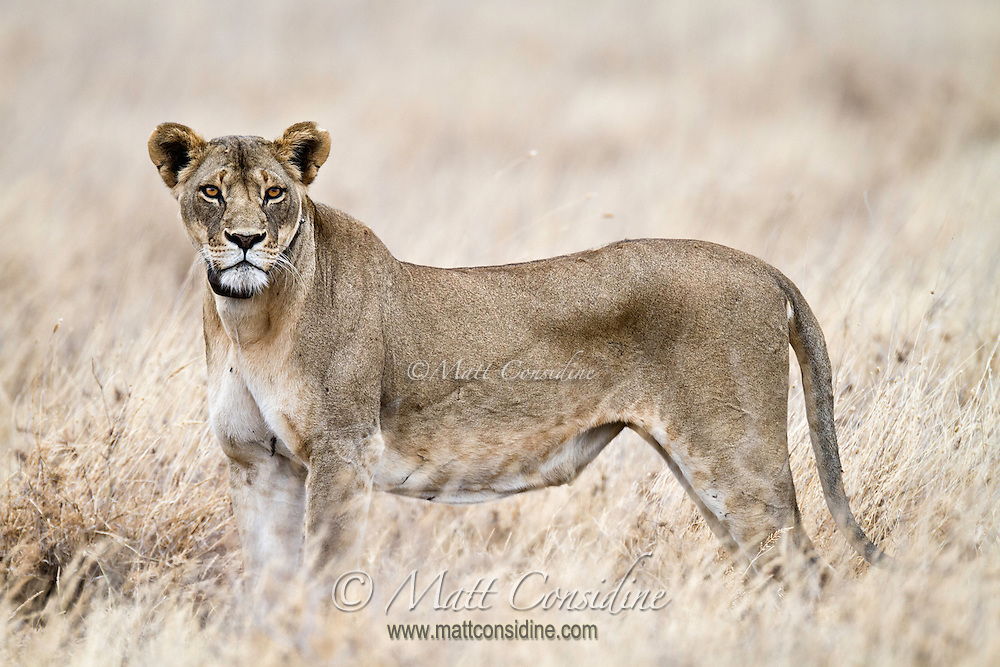 Hungry lioness standing in profile after unsuccessful hunt, in morning light, Kenya, Africa  (photo by Wildlife Photographer Matt Considine)