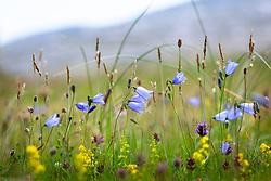 Harebells growing wild on South Harris, Outer Hebrides, Scotland. Scottish Bluebell. Campanula rotundifolia