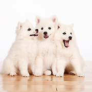 20110709 American Eskimo Puppies