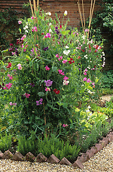 Sweet peas growing up two simple tripods made of canes. Lathyrus odoratus