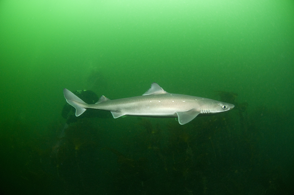 Diver with Spurdog (Squalus acanthias). Location : Stavanger, Norway