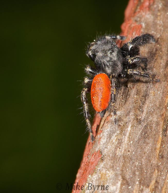 Red-backed Jumping Spider, (Phidippus johnsoni),  Courtenay,  Comox Valley,  British Columbia,  Canada,  (Photographer;  Isobel Springett),