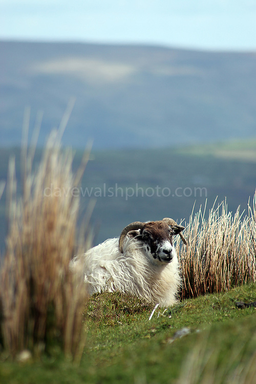 Domestic mountain sheep, a very recognisable part of western and upland Ireland