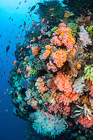 A steep reef wall with a colorful variety of hard and soft corals.<br /> <br /> Shot in Indonesia