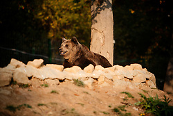 ROMANIA ZARNESTI 25OCT12 - Eurasian brown bear Jexy sits by the pool in her training  enclosure at the Zarnesti Bear Sanctuary in Romania, funded by WSPA.....With over 160 acres (70 hectares) spread over a wooded hillside, it is Romania's first bear sanctuary and today houses 67 bears rescued from ramshackle zoos and cages at roadside restaurants.....jre/Photo by Jiri Rezac / WSPA....© Jiri Rezac 2012
