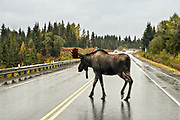 A Bull Moose crosses the Sterling Highway with little regard of oncoming traffic on a rainy day outside Homer, Alaska.