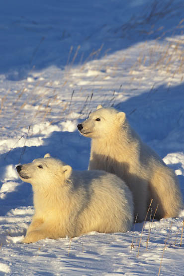 Polar Bear, (Ursus maritimus) Cubs on frozen Churchill, Manitoba. Canada.