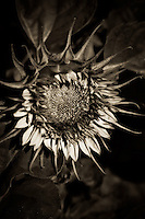 A young sunflower, elegant and strong.