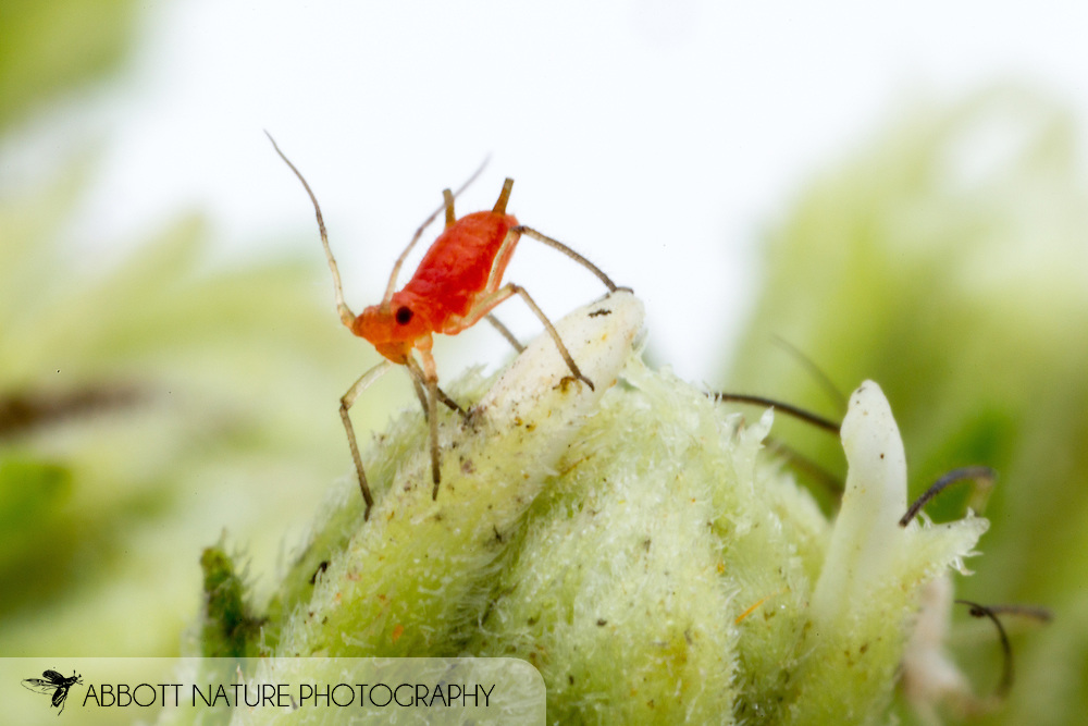Red Aphid (Uroleucon sp.)<br /> TEXAS: Bastrop Co.<br /> Stengl &lsquo;Lost Pines&rsquo; Biological Station; 5.4 mi N of Smithville on C.R. 185<br /> 13-Oct-2012 N30.08671 W97.17301<br /> J.C. Abbott #2627