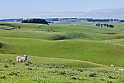 A sheep looks on amidst fields of rolling green pasture, New Zealand