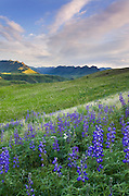 Blue lupines on the hills above the Imnaha River Canyon, Hells Canyon Recreation Area Oregon