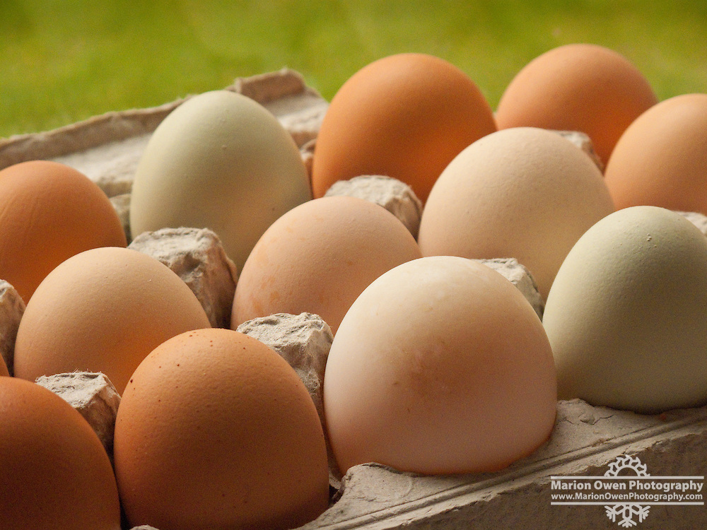 Fresh, locally grown chicken eggs from home garden in cardboard egg carton, Kodiak Island, Southwest, Alaska