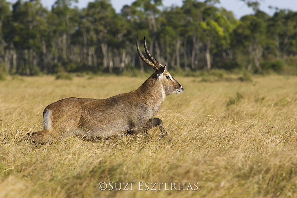 Defassa's Waterbuck<br /> Kobus ellipsiprymnus defa<br /> Adult male<br /> Masai Mara Reserve, Kenya