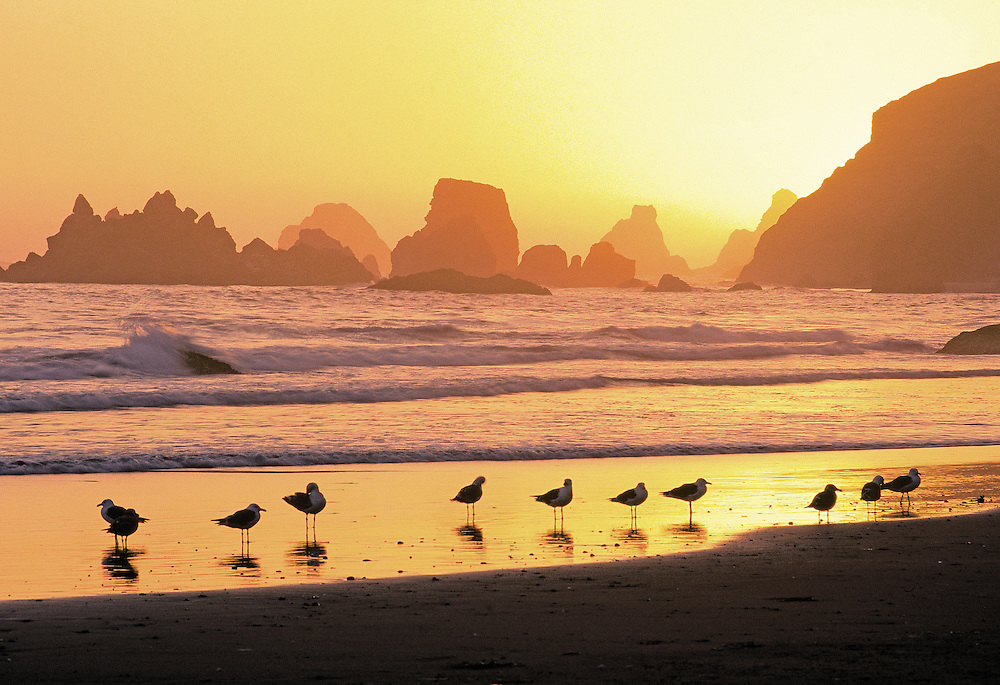 seagulls on beach at sunset, Cape Ferrello, Oregon