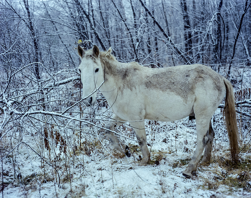A horse grazes in the snow on Saturday, October 26, 2013 in Baikalsk, Russia.