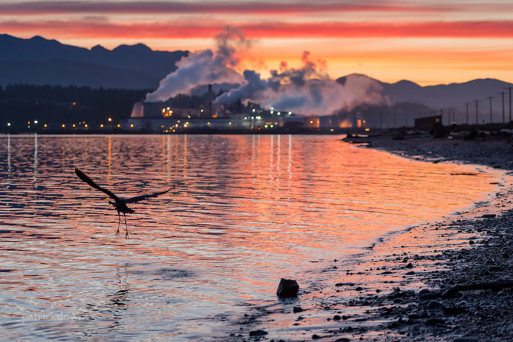 A great blue heron takes off along the shore on Ediz Hook, in the Port Angeles harbor just after sunset. It's a favorite fishing spot for them, and they are very good at it.