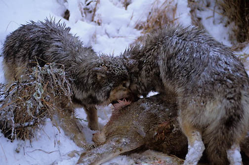 Gray Wolf, (Canis lupus) Feeding on Mule deer carcass.  Captive Animal.