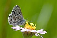 Agriades podarce cilla - Sierra Nevada Blue