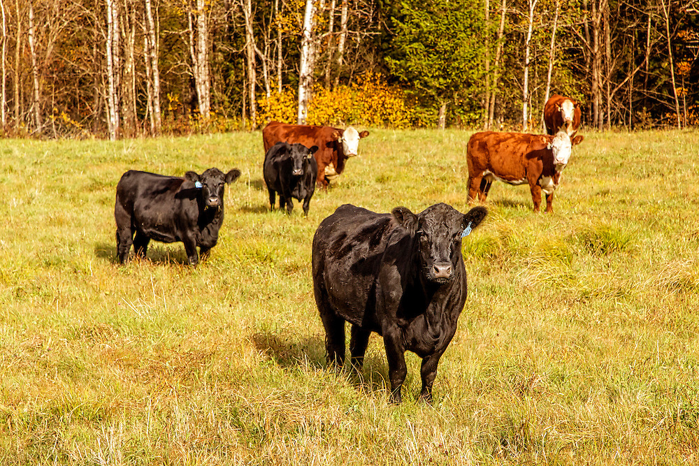 A group of cows stare down the photographer. Pomfret, VT.