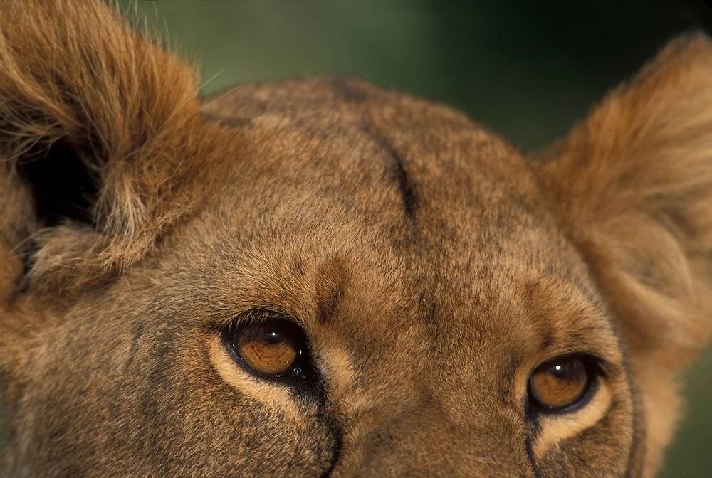 Africa, Kenya, Masai Mara Game Reserve, Close-up portrait of Lioness (Panthera leo) eyes and ears on savanna